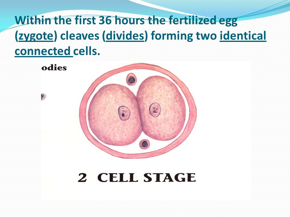 Within the first 36 hours the fertilized egg (zygote) cleaves (divides) forming two identical connected cells.