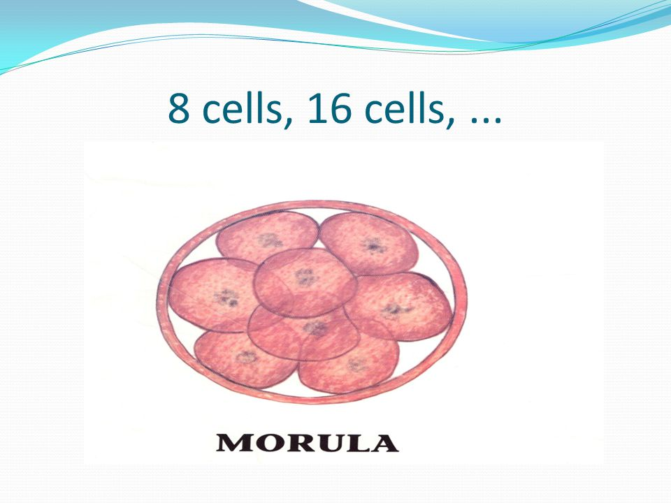 8 cells, 16 cells, ...