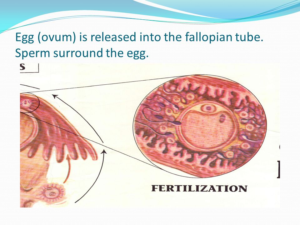 Egg (ovum) is released into the fallopian tube. Sperm surround the egg.