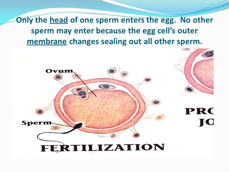 Only the head of one sperm enters the egg