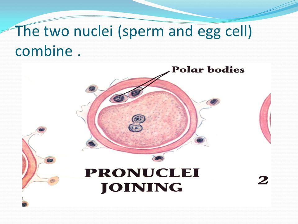 The two nuclei (sperm and egg cell) combine .