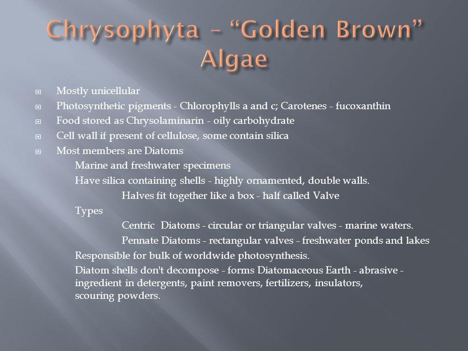 Chrysophyta – Golden Brown Algae
