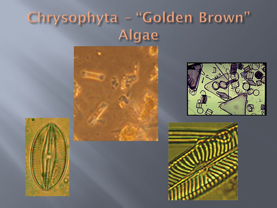 Chrysophyta – Golden Brown Algae