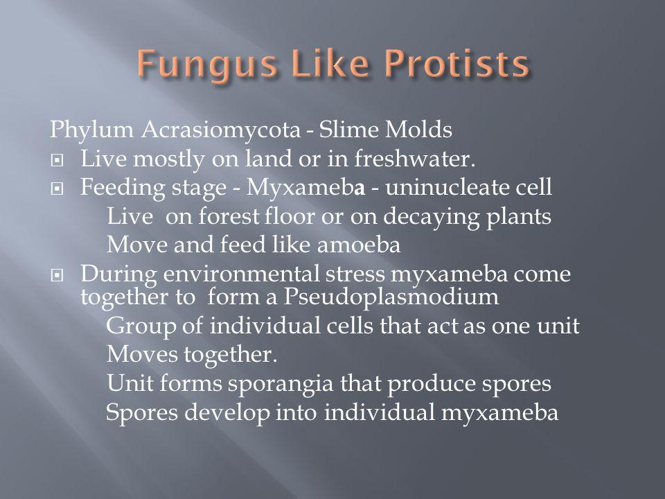 Fungus Like Protists Phylum Acrasiomycota - Slime Molds