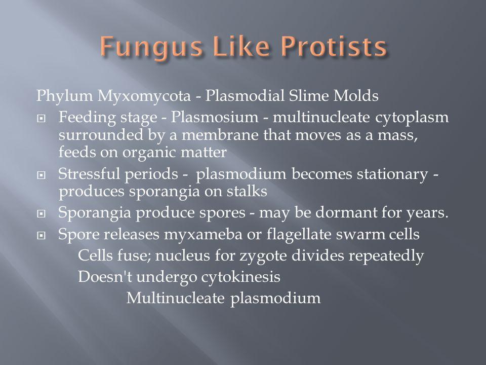 Fungus Like Protists Phylum Myxomycota - Plasmodial Slime Molds