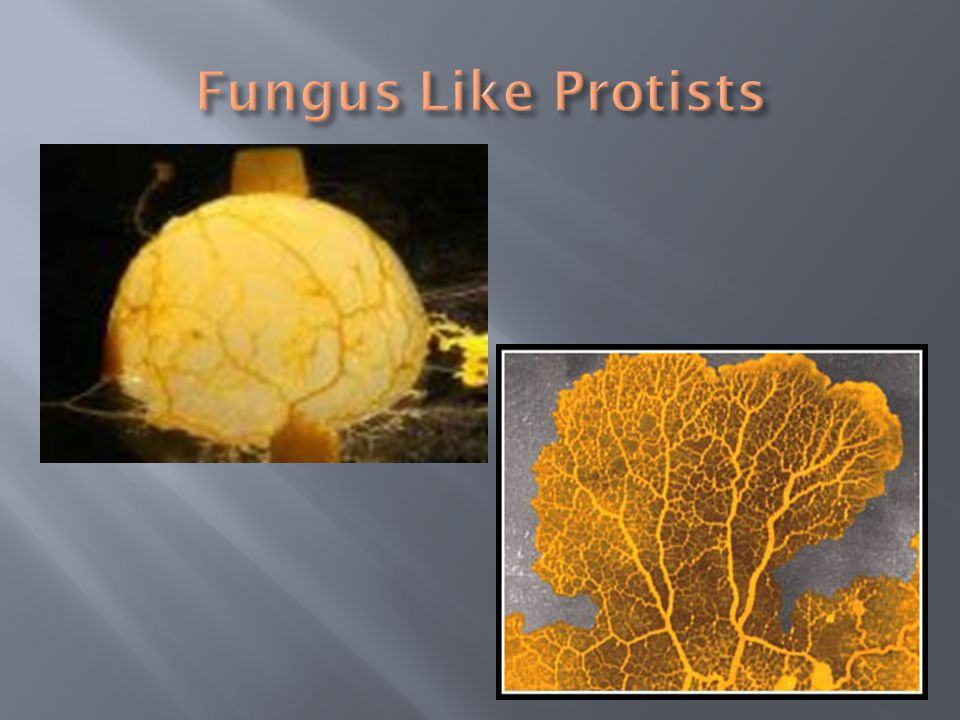 Fungus Like Protists
