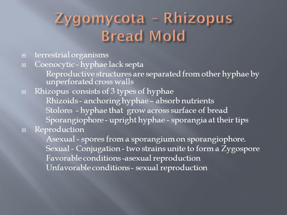 Zygomycota – Rhizopus Bread Mold