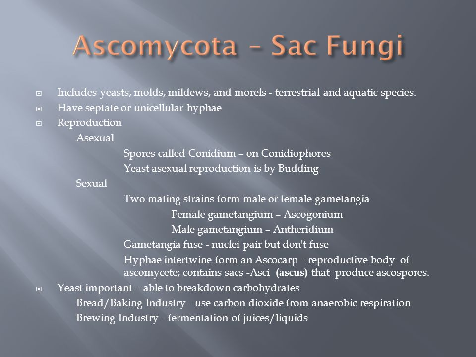 Ascomycota – Sac Fungi Includes yeasts, molds, mildews, and morels - terrestrial and aquatic species.