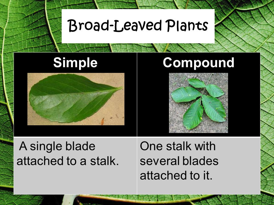 Broad-Leaved Plants Simple Compound