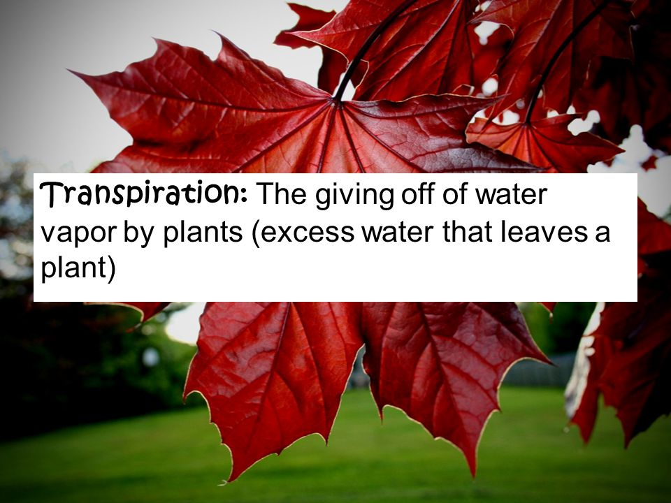 Transpiration: The giving off of water vapor by plants (excess water that leaves a plant)