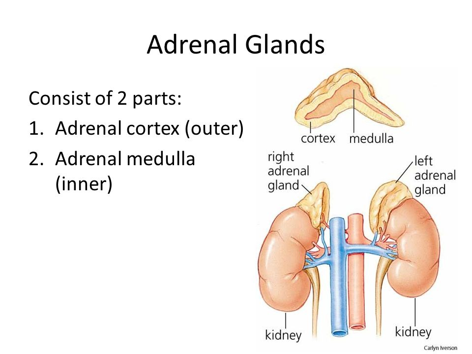 Adrenal Glands Consist of 2 parts: Adrenal cortex (outer)