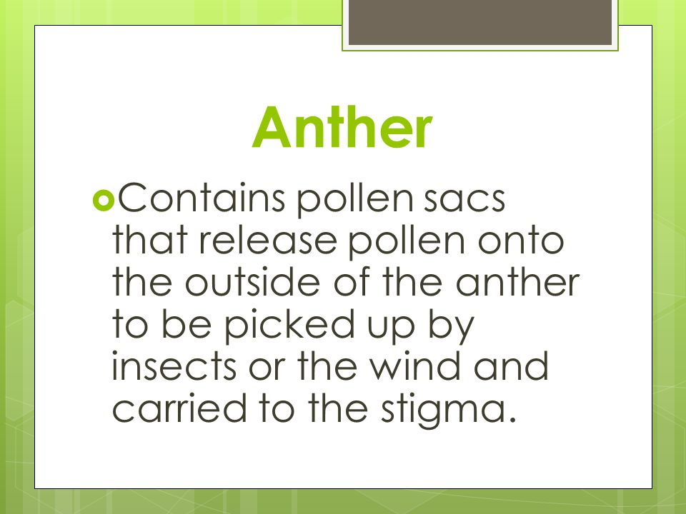 Anther Contains pollen sacs that release pollen onto the outside of the anther to be picked up by insects or the wind and carried to the stigma.