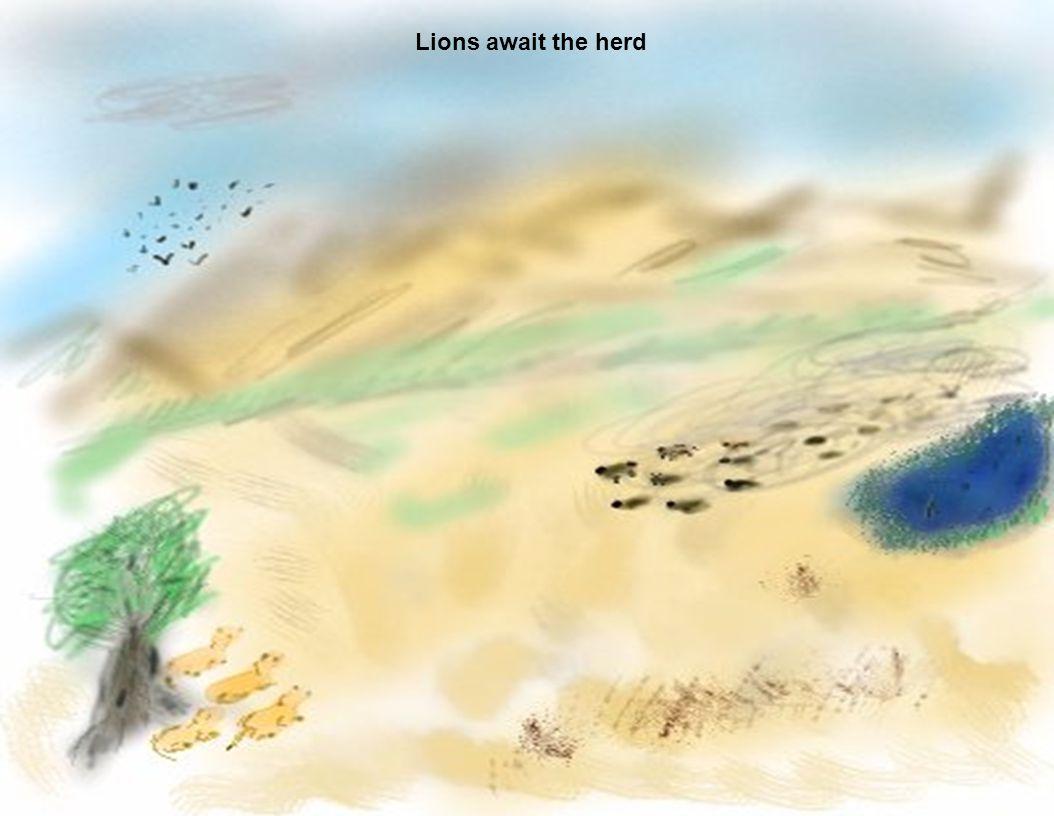 Lions await the herd