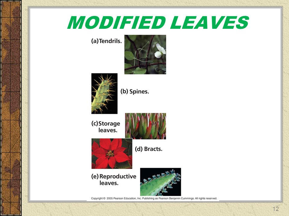 MODIFIED LEAVES