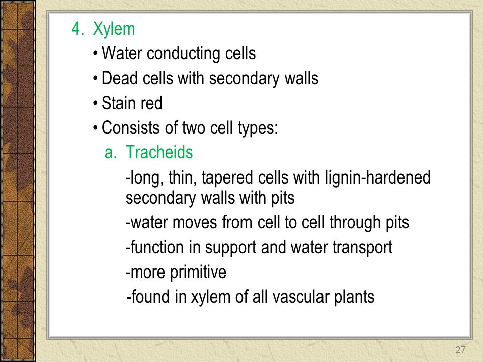 4. Xylem Water conducting cells. Dead cells with secondary walls. Stain red. Consists of two cell types: