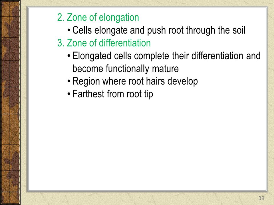 2. Zone of elongation Cells elongate and push root through the soil. 3. Zone of differentiation.