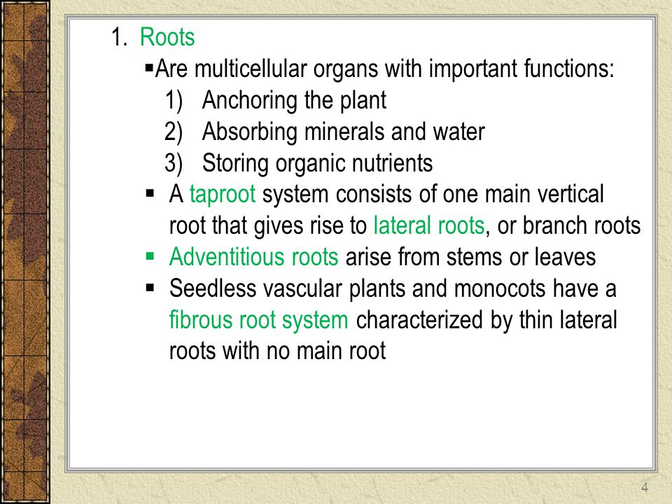 1. Roots Are multicellular organs with important functions: Anchoring the plant. Absorbing minerals and water.