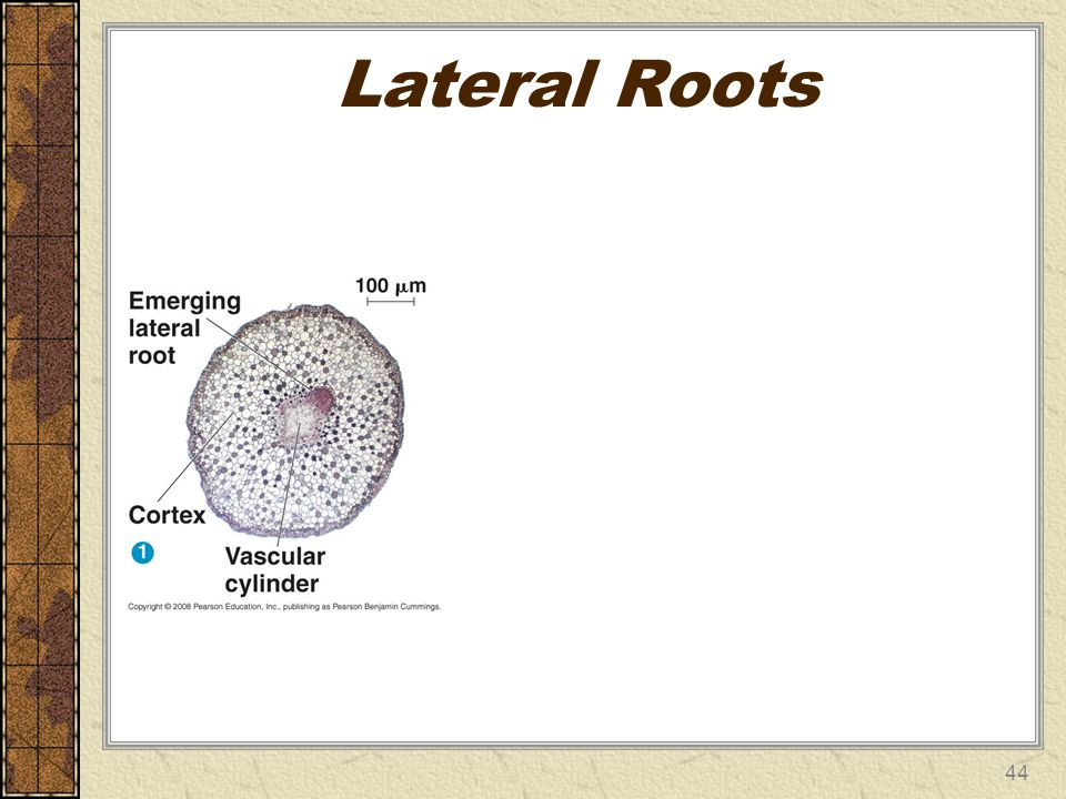 Lateral Roots