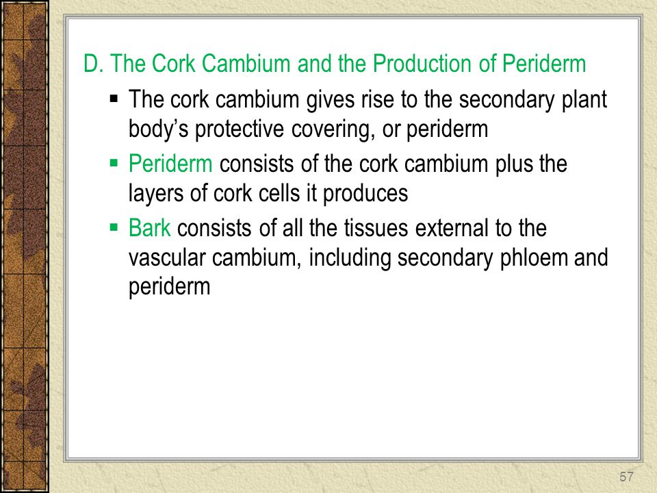 D. The Cork Cambium and the Production of Periderm