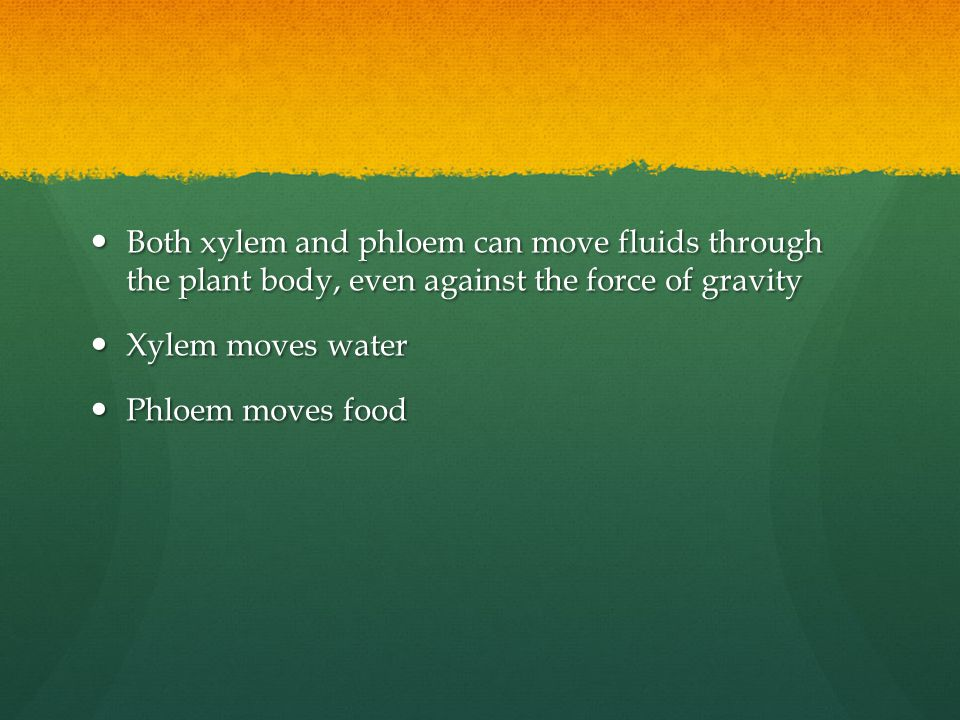 Both xylem and phloem can move fluids through the plant body, even against the force of gravity