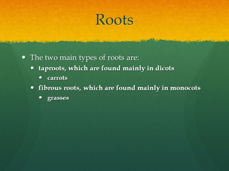 Roots The two main types of roots are: