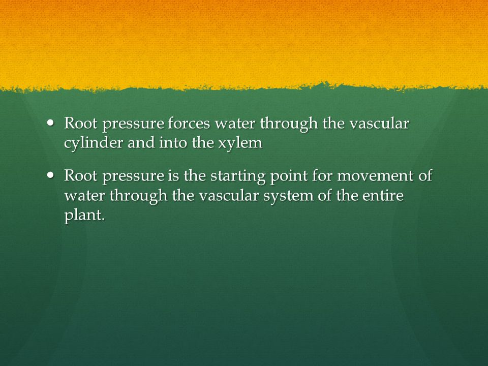 Root pressure forces water through the vascular cylinder and into the xylem