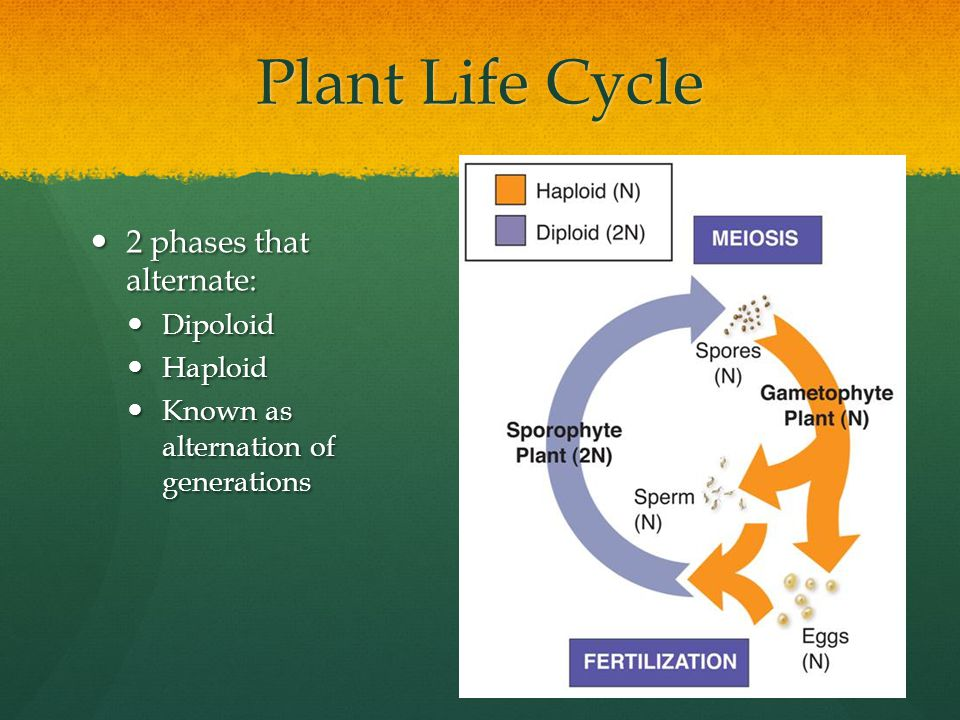 Plant Life Cycle 2 phases that alternate: Dipoloid Haploid