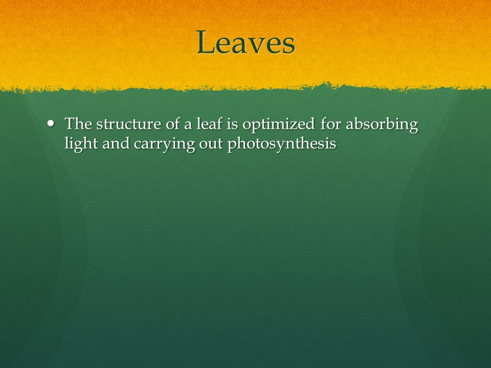 Leaves The structure of a leaf is optimized for absorbing light and carrying out photosynthesis