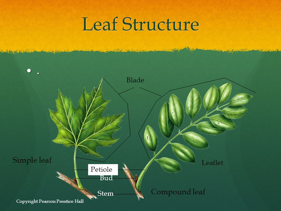 Leaf Structure . Simple leaf Compound leaf Blade Leaflet Petiole Bud
