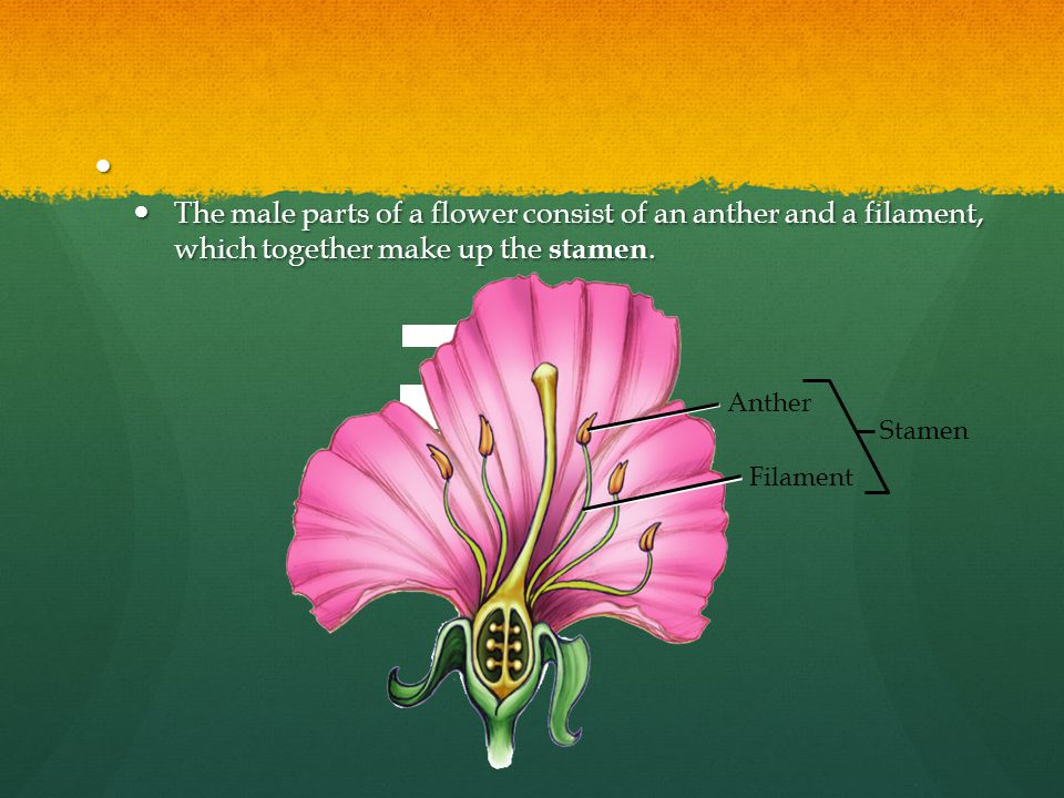 The male parts of a flower consist of an anther and a filament, which together make up the stamen.