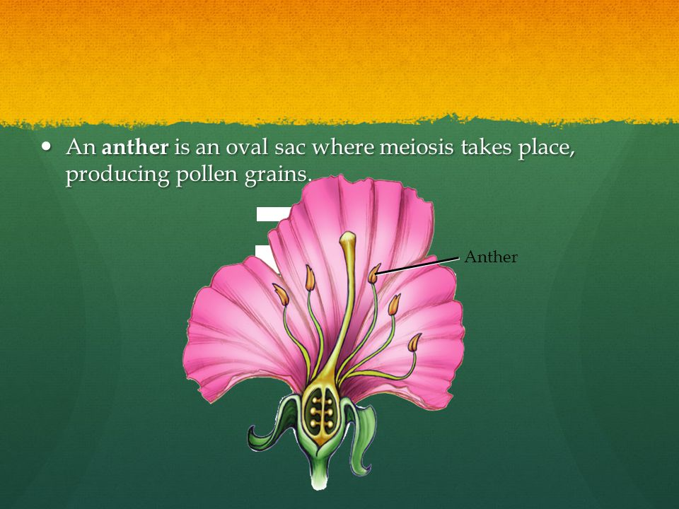 An anther is an oval sac where meiosis takes place, producing pollen grains.