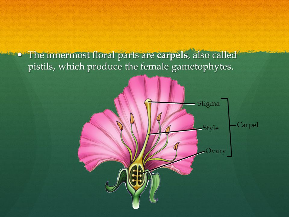 The innermost floral parts are carpels, also called pistils, which produce the female gametophytes.
