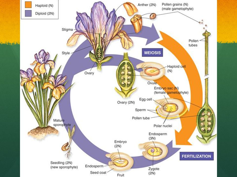 This illustration shows the life cycle of an iris