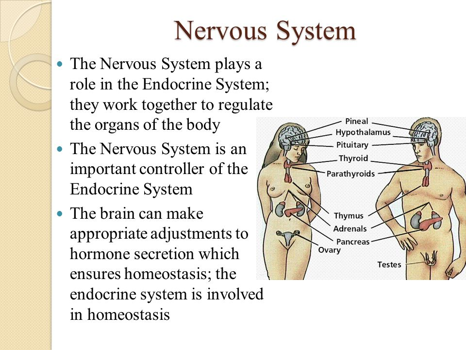Nervous System The Nervous System plays a role in the Endocrine System; they work together to regulate the organs of the body.