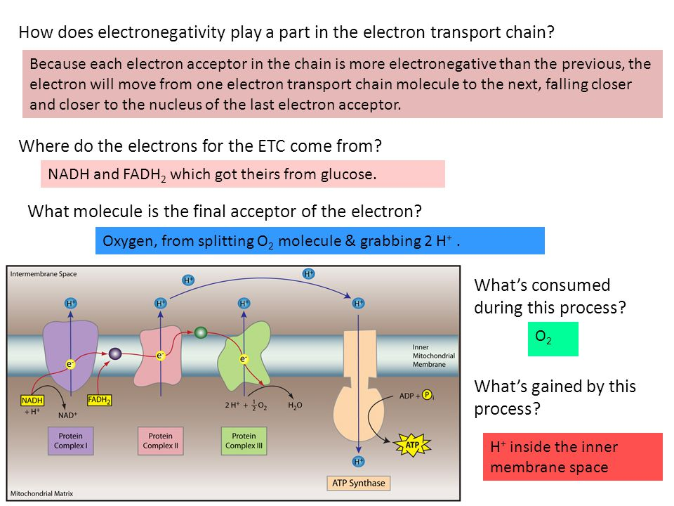 Where do the electrons for the ETC come from