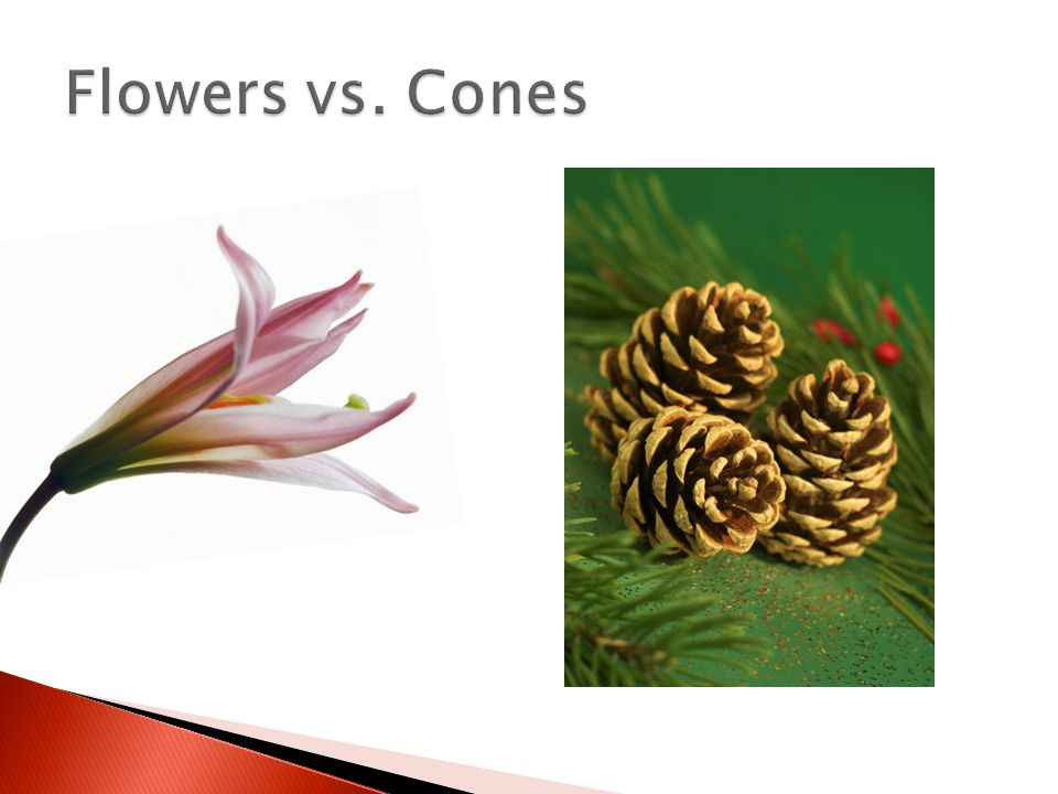 Flowers vs. Cones