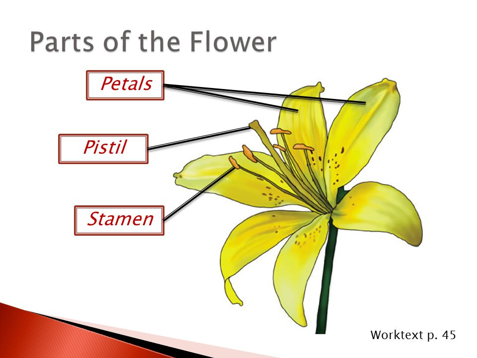 Parts of the Flower Petals Pistil Stamen Worktext p. 45