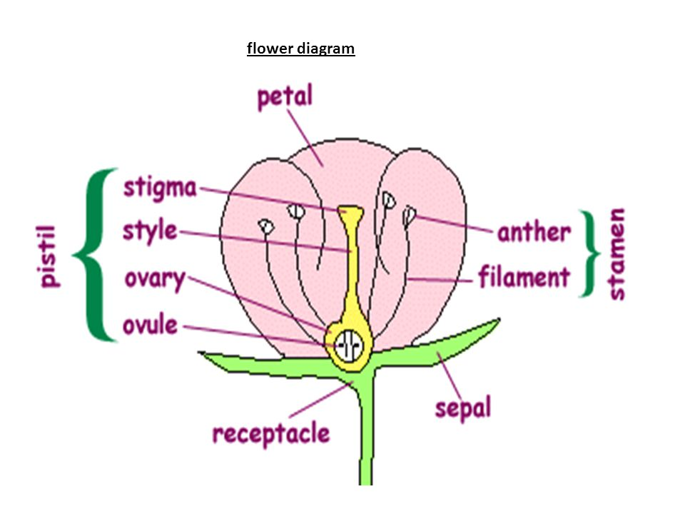Flower parts and their functions ppt video online download 2 flower diagram ccuart Choice Image