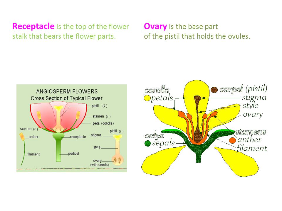 Flower parts and their functions ppt video online download receptacle is the top of the flower stalk that bears the flower parts ccuart Gallery