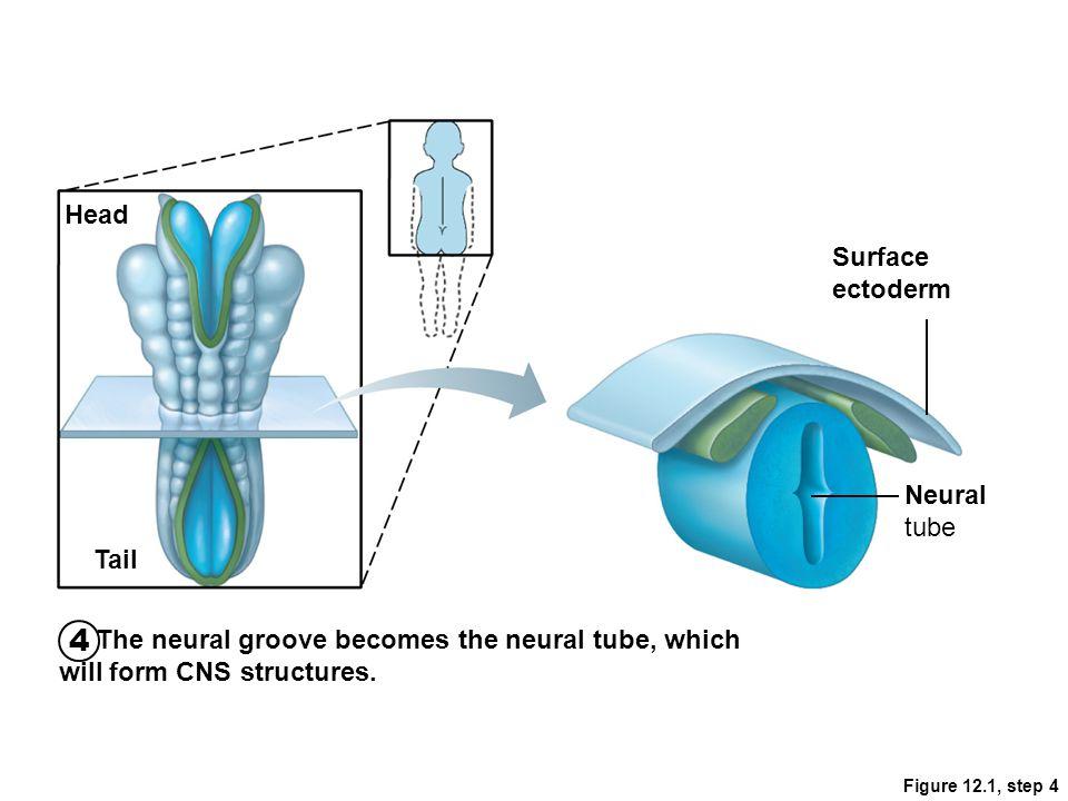 4 Head Surface ectoderm Neural tube Tail