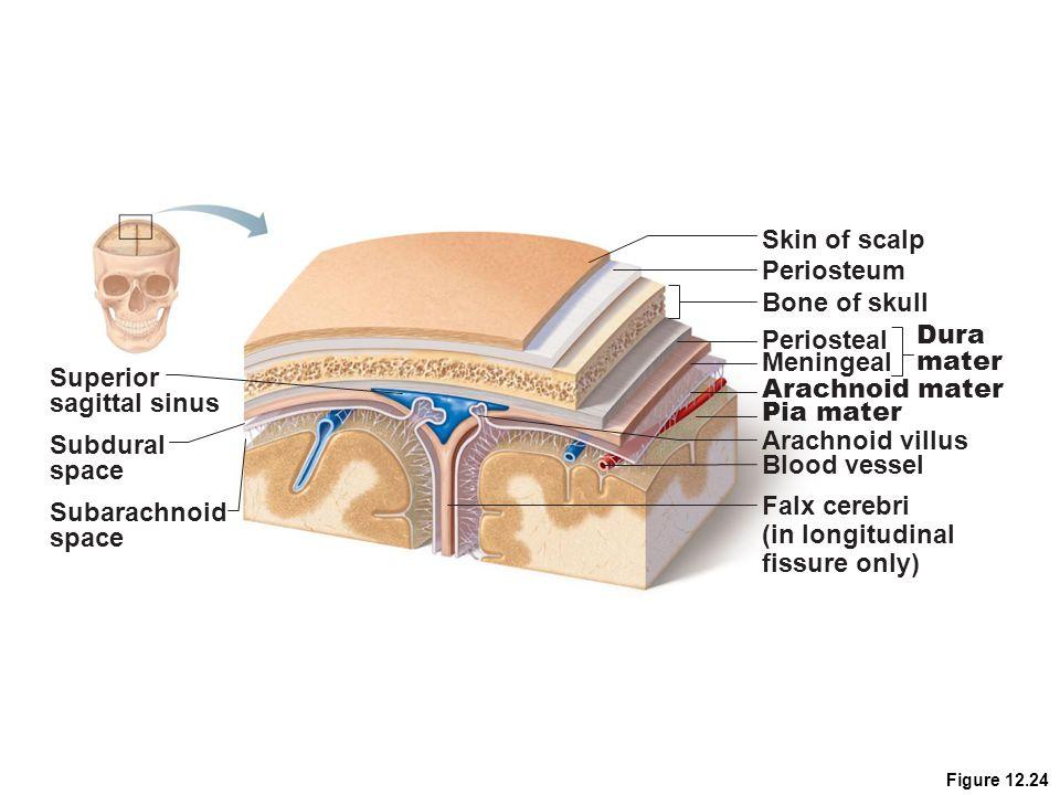 Skin of scalp Periosteum Bone of skull Dura Periosteal mater Meningeal