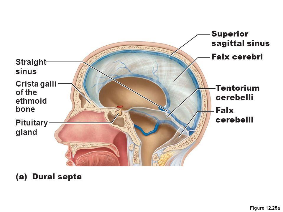 Superior sagittal sinus Falx cerebri Straight sinus Crista galli