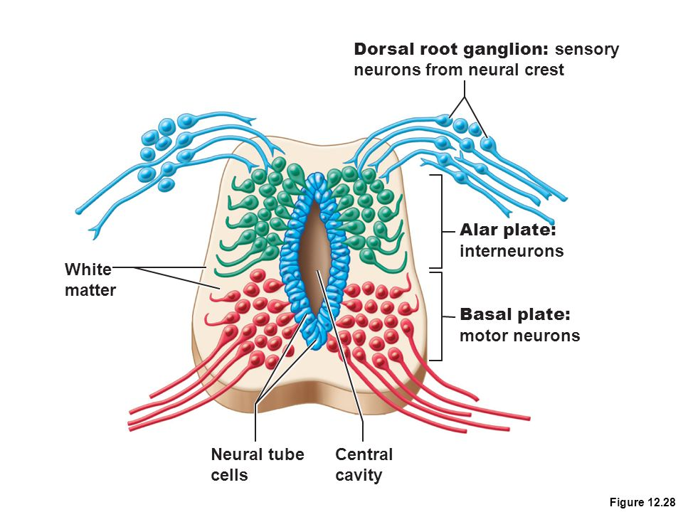 Dorsal root ganglion: sensory neurons from neural crest