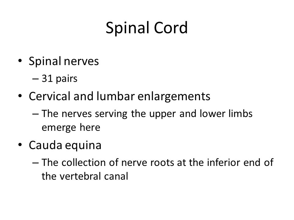 Spinal Cord Spinal nerves Cervical and lumbar enlargements