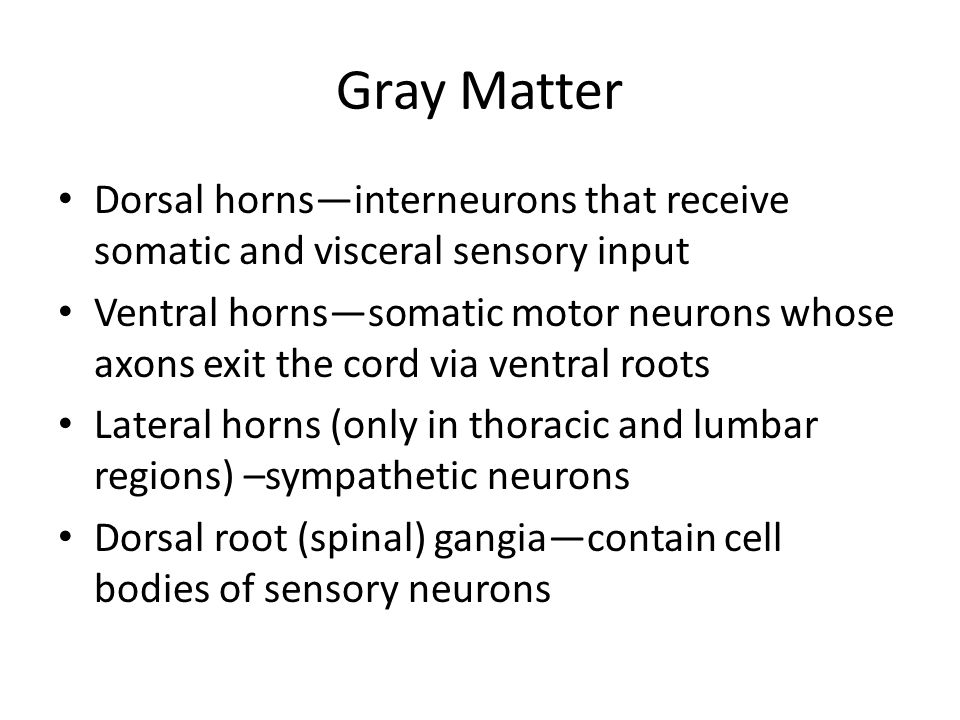 Gray Matter Dorsal horns—interneurons that receive somatic and visceral sensory input.