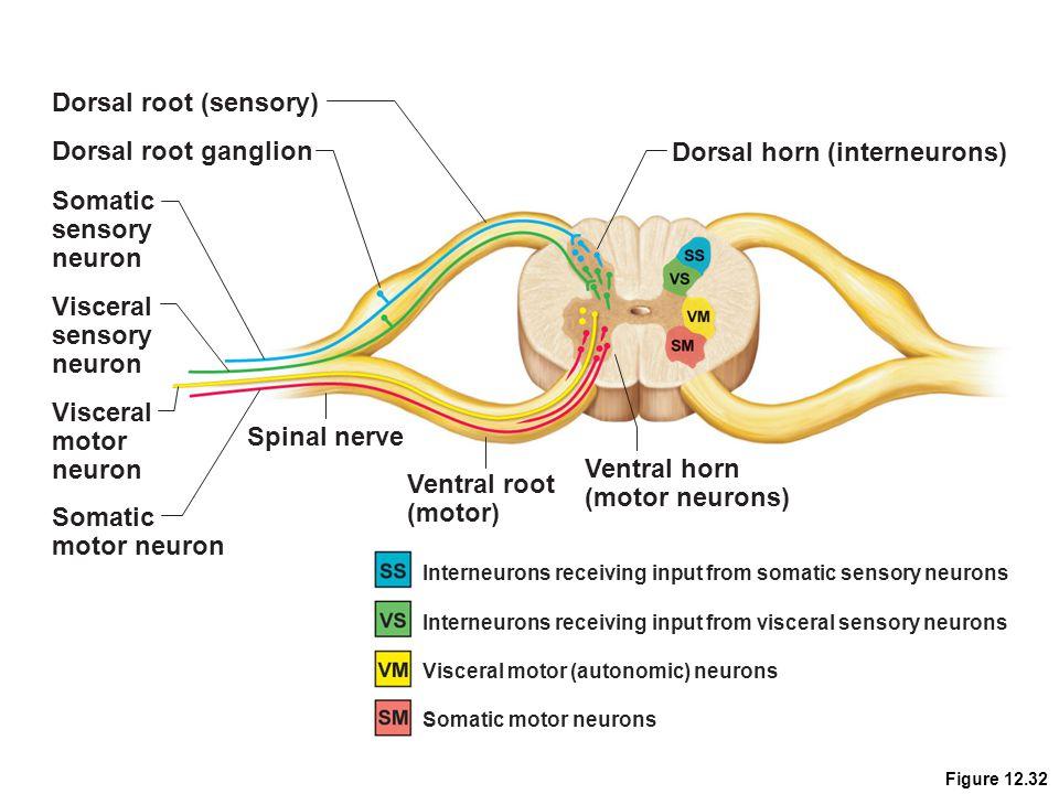 Dorsal horn (interneurons)