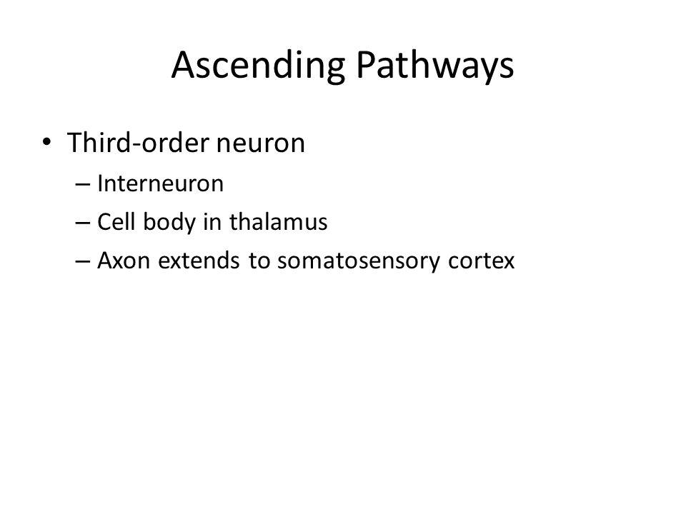 Ascending Pathways Third-order neuron Interneuron
