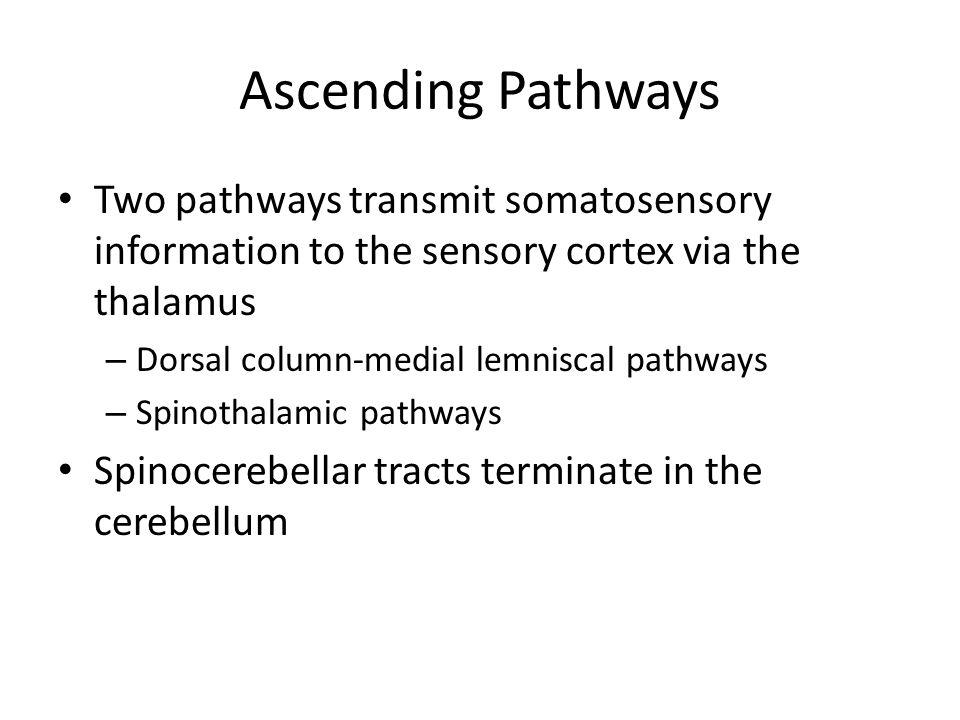 Ascending Pathways Two pathways transmit somatosensory information to the sensory cortex via the thalamus.