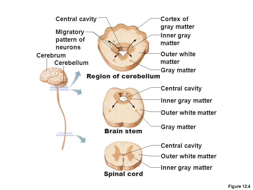 Central cavity Cortex of gray matter Migratory pattern of neurons