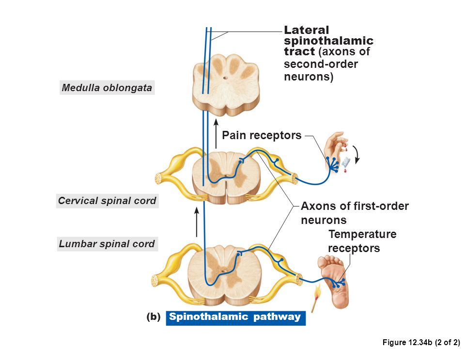 Lateral spinothalamic tract (axons of second-order neurons)